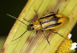 OGM insectes